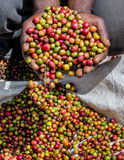 Grains of ripe coffee in the handbreadths of a person. East Africa. Coffee plantation. stock photography