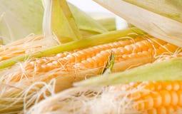 Grains of ripe corn Royalty Free Stock Image