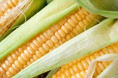 Grains of ripe corn Stock Image
