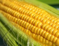 Grains of ripe corn in an ear, macro, close up Stock Images