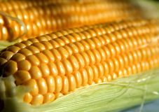 Grains of ripe corn in an ear, macro, close up Royalty Free Stock Image