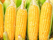 Grains of ripe corn of food on background. Stock Photos