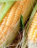 Grains of ripe corn Stock Photos