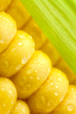 Grains of Ripe Corn with Green Leaf Royalty Free Stock Image
