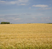 Grains ripening in the fields Royalty Free Stock Photos