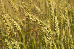 Grains ripening in the fields Royalty Free Stock Images