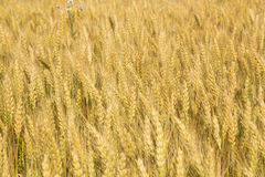 Grains ripening in the fields Stock Image