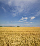 Grains ripening in the fields Stock Images