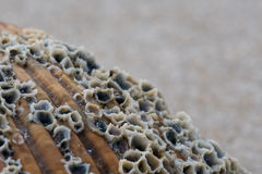 Grains of Sand and Barnacles on Shell Close Up Royalty Free Stock Image