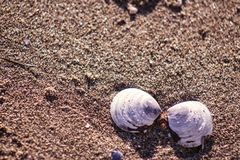 Shells in the sand. Sand texture. Grains of sand shining in the sunlight, and soon to the corner a nice pair of shells Royalty Free Stock Image