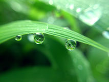 Grains of water. In the leaf Royalty Free Stock Photography