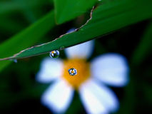 Grains of water. Reflection of flower in the grains of water Royalty Free Stock Photo
