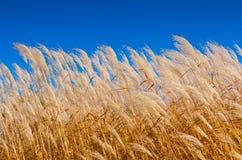 Grains of Wheat Stock Photo