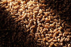 Grains of wheat Royalty Free Stock Photo