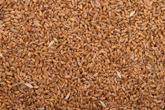 Grains of wheat Stock Image