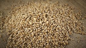 Grains of wheat falling on heap of wheat grains on burlap fabric background - slow motion. Grains of wheat falling on heap of wheat grains on burlap fabric stock video footage