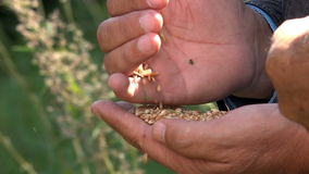 Grains of wheat in the hands of man stock footage