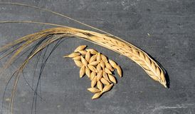 Barley grains and pod. Grains of wheat and a pod of barley stock image