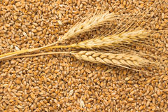 Grains of wheat and wheat spikelets. Top view Royalty Free Stock Photography