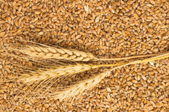 Grains of wheat and wheat spikelets. Top view Royalty Free Stock Image
