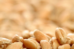 Grains of a winter wheat. Background Stock Photos