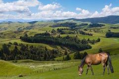graizing häst Royaltyfri Fotografi