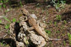 Grająca główna rolę Agama jaszczurka na skale przy wyspą Delos w Cypr Zdjęcia Stock