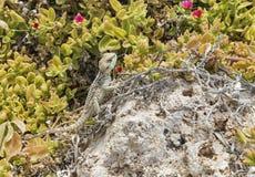 Grająca główna rolę Agama jaszczurka na skale przy wyspą w Cypr Zdjęcia Royalty Free