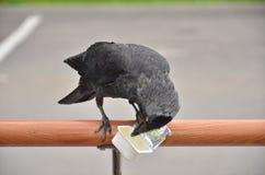 Grajo del pájaro Foto de archivo libre de regalías