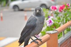 Grajo del pájaro Imagen de archivo libre de regalías