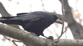 Grajo en árbol con la nuez metrajes