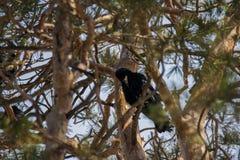 Grajo en árboles de pino Imagen de archivo
