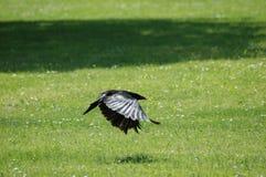 Grajo (frugilegus del Corvus) Foto de archivo