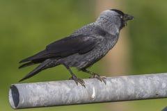 Grajo (moledula del Corvus) Fotografía de archivo libre de regalías