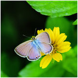 Gram blue butterfly. Sitting on Wedlia flower. Wings full open Royalty Free Stock Photography