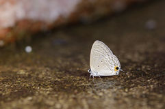 Gram blue butterfly Stock Photo