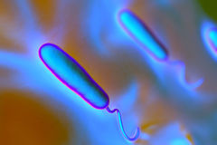 Gram-negative rod-shaped bacteria Royalty Free Stock Images