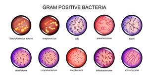 Gram positive bacteria Royalty Free Stock Photos