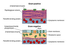 Gram positive and negative bacteria. Illustration to show the differences in the structure of the cell walls in Gram-positive and Gram-negative bacteria Stock Images