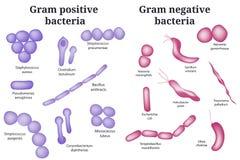 Gram - pozytyw i gram - negatywne bakterie ilustracji