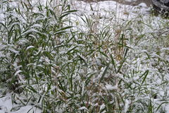 A grama é coberta com a neve Foto de Stock