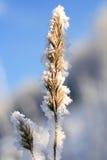 a grama é coberta pelo hoarfrost Imagem de Stock