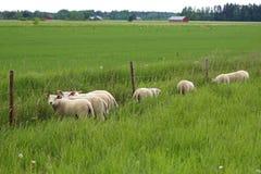 A grama é mais verde para carneiros Fotografia de Stock
