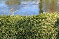 Grama alta ao longo da borda dos rios foto de stock