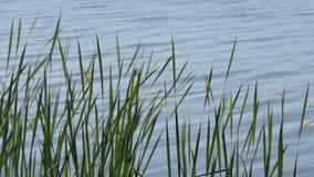 Grama alta na beira do lago contra a superfície da água filme