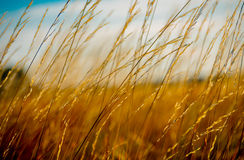 Grama amarela bonita Imagem de Stock