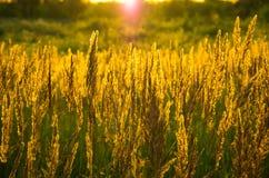 Grama amarela bonita Fotografia de Stock Royalty Free