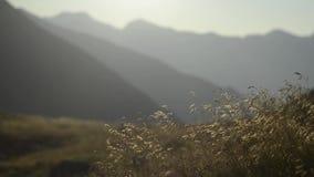 Grama amarela na luz da manhã nas montanhas video estoque