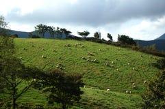 Grama animal da paisagem do prado dos rebanhos animais do cordeiro dos carneiros Fotografia de Stock