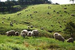 Grama animal da paisagem do prado dos rebanhos animais do cordeiro dos carneiros Imagens de Stock Royalty Free